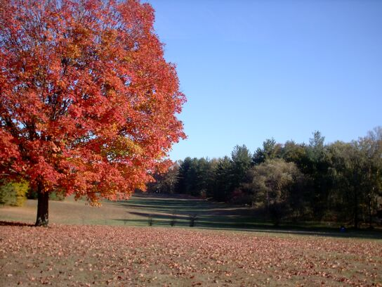 wallpaper preview: sugar maple in full fall color